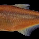 bryconamericus-andresoi-holotipo-iuq-447-5