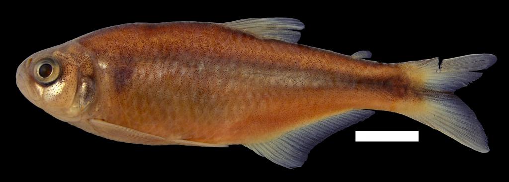 Bryconamericus andresoi Holotipo IUQ 447