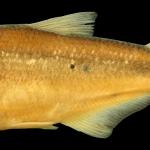 bryconamericus-arilepis-holotipo-iuq-1917