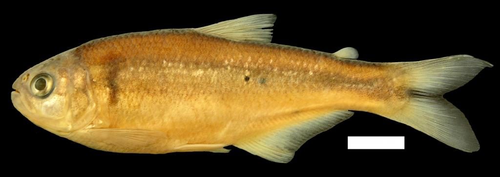 Bryconamericus arilepis Holotipo IUQ 1917