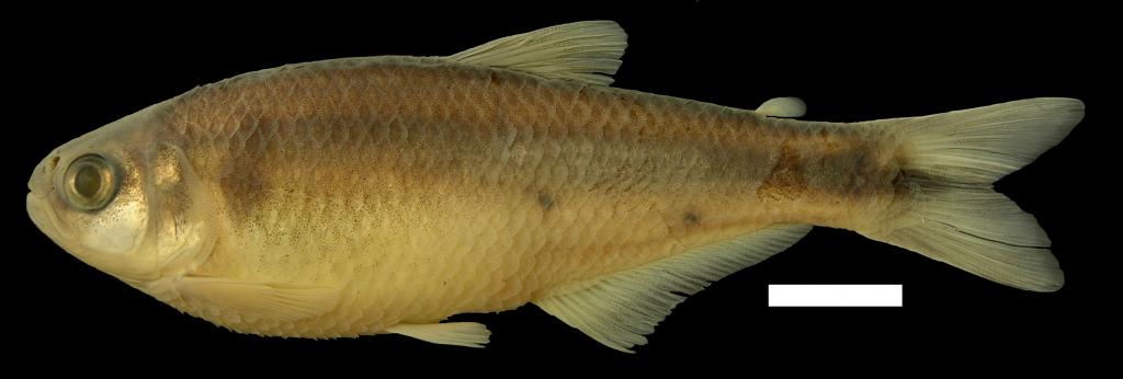 bryconamericus-foncensis-holotipo-iuq-1941-4
