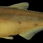 Bryconamericus foncensis Holotipo IUQ 1941