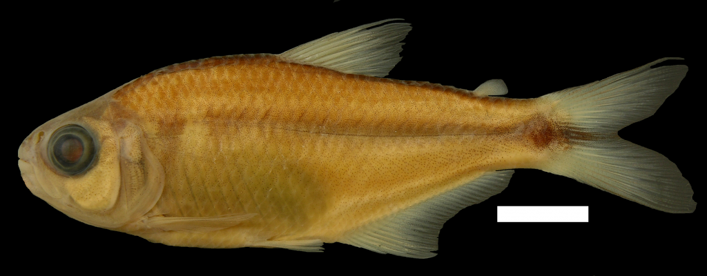 Bryconamericus gonzalezoi Holotipo IUQ 377