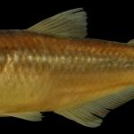 Bryconamericus guizae Holotipo IUQ 450