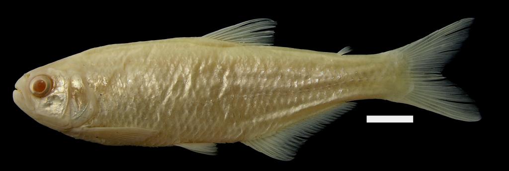 Bryconamericus huilae Holotipo IUQ 422