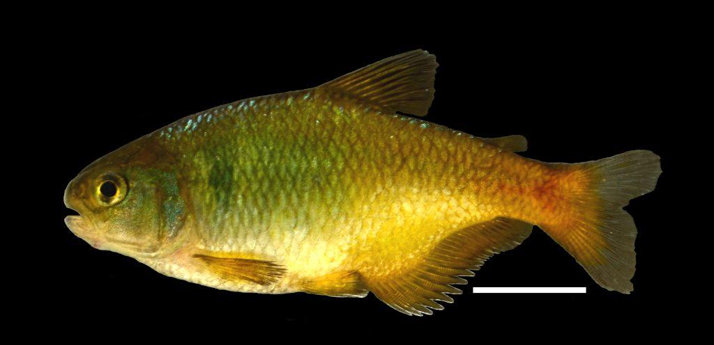carlastyanax-aurocaudatus-cac3b1o-boquia-amarillo1