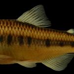 Creagrutus maculatus Holotipo IUQ 2506