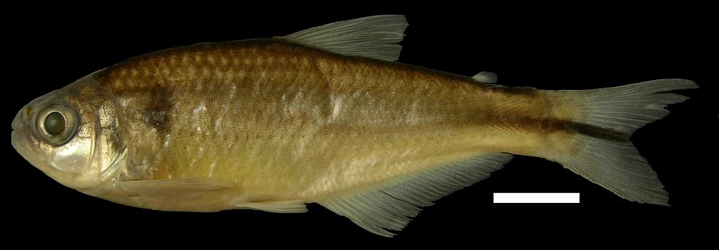 Hemibrycon palomae Holotipo IUQ 2727