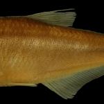 Hemibrycon quindos Holotipo IUQ 485