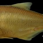 Hemibrycon raqueliae Holotipo IUQ 495