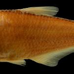 Hemibrycon santamartae Holotipo IUQ 2306