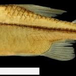 Hyphessobrycon amaronense Holotipo IUQ 2286