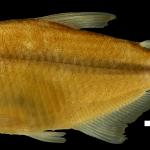 Hyphessobrycon ocasoensis Holotipo IUQ 1635