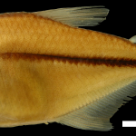 Hyphessobrycon oritoensis Holotipo IUQ 1574