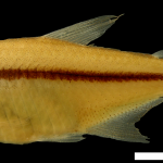 Hyphessobrycon paucilepis Holotipo IUQ 1897