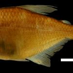 Hyphessobrycon sebastiani Holotipo IUQ 1942