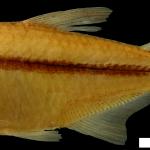 Hyphessobrycon tuyensis Holotipo IUQ 1914